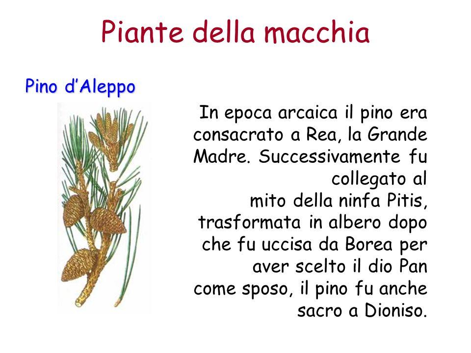 Piante+della+macchia+Pino+d'Aleppo