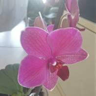orchidea ns 10